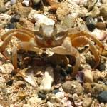 ������, ������: Crab