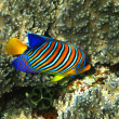 Stock Photo: Royal angelfish
