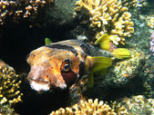 Black-blotched porcupinefish — Stock Photo