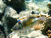 Picasso trigger fish and reef — Stock Photo