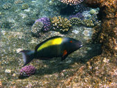 Parrot fish and reef — Stock Photo