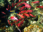 Pinecone soldierfishes and coral reef — Stock Photo
