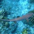 Reef shark and coral reef — Stock Photo