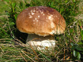 Boletus — Stock Photo