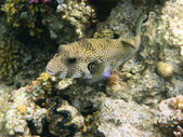 White-spotted puffer and coral reef — Stock Photo