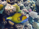 Titan triggerfish ve mercan — Stok fotoğraf