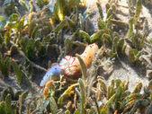 Ceylon gymnodorid in Red sea — Stock Photo
