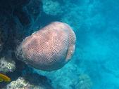 Solid pore coral — Stock Photo