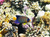 Royal angelfish and coral reef — Stock Photo