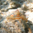 Stock Photo: Ceylon gymnodorid