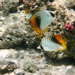 Royalty-Free Stock Photo: Threadfin butterflyfishes