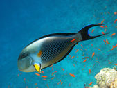 Sohal surgeonfish and coral reef — Stock Photo