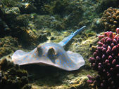 Blue-spotted stingray, Marsa Alam — Stock Photo