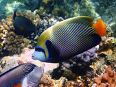 Emperor angelfish and reef — Stock Photo