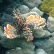 Red lionfish — Stock Photo #1247967