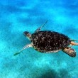 Sea turtle in Red sea - Stock Photo