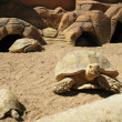 Turtles and desert — Stock Photo