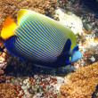Stock Photo: Emperor angelfish and coral