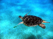 Sea turtle in Red sea — Stock Photo