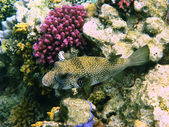 White-spotted puffer and coral — Stock Photo