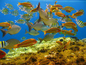Tropical fishes and coral reef — Stock Photo