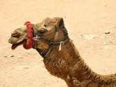 Camel profile portrait — Stock Photo