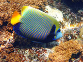 Emperor angelfish and coral — Stock Photo