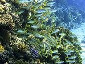 Yellowfin goatfish and dory snapper — Stock Photo