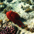 Coral reef and octopus in Red sea - Stock Photo