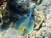 Blue-spotted stingray in Red sea — Stock Photo