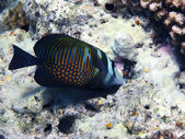 Red Sea sailfin tang — Stock Photo