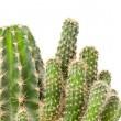 Cactus isolated on white background — Stock Photo