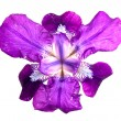Royalty-Free Stock Photo: Iris flag