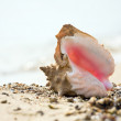 Conch shell on beach — Stock Photo