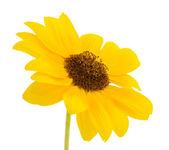 黄色的向日葵 — 图库照片