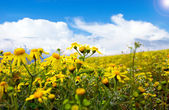 Field of yellow blossomed — Stock Photo