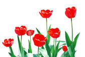 Tulips Frame Floral Template — Stock Photo
