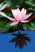 Water Lily — Fotografia Stock