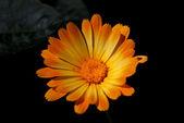 Orange Chamomile on Black — Stockfoto