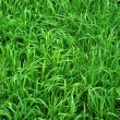 Green Grass Background — Stock Photo #1340581