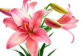 Lily Bouquet — Stock Photo