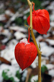 Physalis — Foto Stock