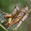 Stock Photo: Grasshoppers couple