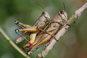 Grasshoppers couple — Stock Photo