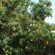 Stock Photo: Tangerines tree
