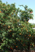 Tangerines tree — Stock Photo