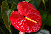 Red calla — Stockfoto