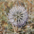 Stock Photo: Blossoming prickle