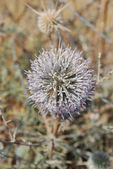 Blossoming prickle — Stock Photo