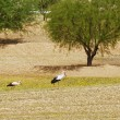 Royalty-Free Stock Photo: Storks in the field
